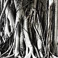 Mangrove Tentacles  by Douglas Barnard