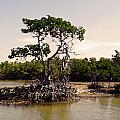 Mangroves In The Everglades by HD Hasselbarth