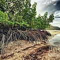 Mangroves by MotHaiBaPhoto Prints