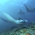 Manta Rays, Komodo, Indonesia by Mathieu Meur