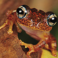 Mantellid Frog Boophis Tephraeomystax by Thomas Marent