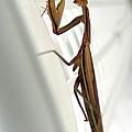 Mantis by Alessandro Della Pietra