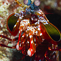 Mantis Shrimp, Australia by Todd Winner