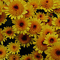 Many Mums by Mike Martin