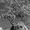 Manzanita Outcrop by Jim And Emily Bush