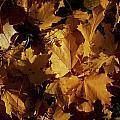 Maple In Fall by Jouko Lehto