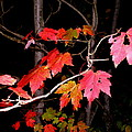 Maple Leaf by Donald Black