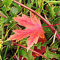 Maple Leaf Forever by Ian  MacDonald