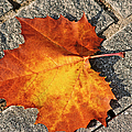 Maple Leaf In Fall by Carolyn Marshall