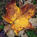 Maple Leaf In Fall by Rick Berk