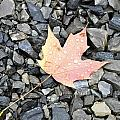 Maple Leaf In The Rain by Rosemary Legge