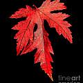 Maple Leaf by Robert Bales