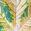 Maple Leaf by Tom Gowanlock