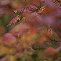 Maple Leaves Are Bright Red On A Rainy by Taylor S. Kennedy