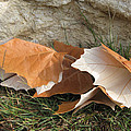 Maple Leaves Contrasted by Cindy Clements