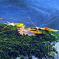 Maple Leaves On Mossy Rock by Sharon Talson
