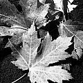 Maple Leaves  by Renate Nadi Wesley