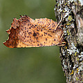 Maple Spanworm Moth by Doris Potter