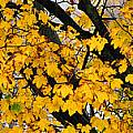 Maple Tree Panorama by Mike Nellums