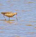 Marbled Godwit Searching For Food by Roena King