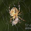 Marbled Orb Weaver Spider Eating by Ted Kinsman