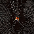 Marbled Orb Weaver Spider by Ted Kinsman