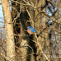 March Bluebird by Neal Eslinger