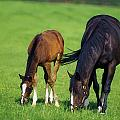 Mare And Foal Thoroughbred Horses by The Irish Image Collection