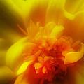 Marigolden by Judi Bagwell