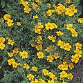Marigolds (tagetes 'tangerine Gem') by Adrian Thomas