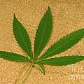 Marijuana Leaf by Ford McCann