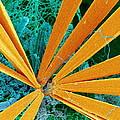 Marine Diatom Algae, Sem by Susumu Nishinaga
