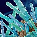 Marine Diatoms, Sem by Susumu Nishinaga