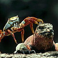 Marine Iguana Amblyrhynchus Cristatus by Tui De Roy