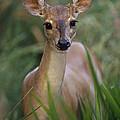 Marsh Deer Blastocerus Dichotomus by Claus Meyer