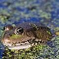 Marsh Frog by Louise Murray