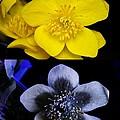 Marsh Marigold In Uv Light by Cordelia Molloy