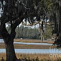 Marsh Oak by Melody Jones