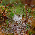 Marsh Spider Web by Carol Groenen