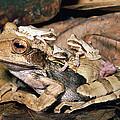 Marsupial Frog Gastrotheca Ovifera by Michael & Patricia Fogden