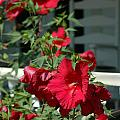 Martha's Vineyard Red Hibiscus And Porch by Mike Nellums