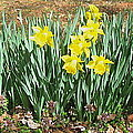 Mary's Daffodils by Nancy Patterson