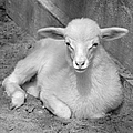 Marys Little Lamb... Or Kid In Black And White by Suzanne Gaff