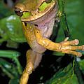 Masked Treefrog by Gregory G Dimijian
