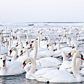 Massive Amount Of Swans In Winter by Mait Juriado photo