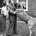 Massive Mastiff by Keystone
