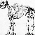 Mastodon Skeleton Drawing by Science Source