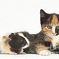 Matching Kitten & Guinea Pig by Mark Taylor