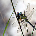 Mating Dragonflies  by Focus  Fotos
