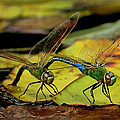 Mating Dragonflies by Richard Fitzer